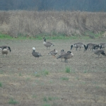 Geese lounging on the refuge