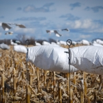 Snow Goose Hunting Tips For Success