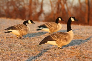 New Avery Canada Goose Decoys