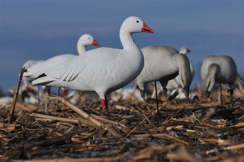 New Avery Snow Goose Decoys - | Fowled Reality