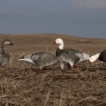 New Waterfowl Decoys for 2012/2013