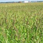 Golden Millet for duck hunting
