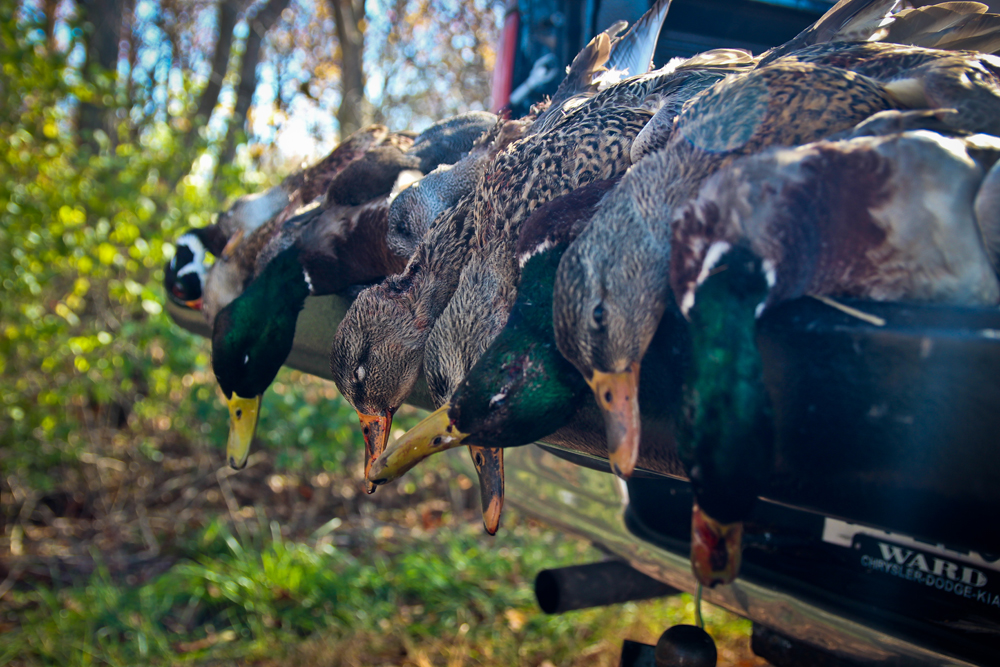 Waterfowl Migration 11/13
