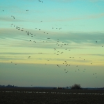 Snow Goose Migration Update – April 8, 2013