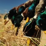 Video: Late Season Duck Hunting in Missouri