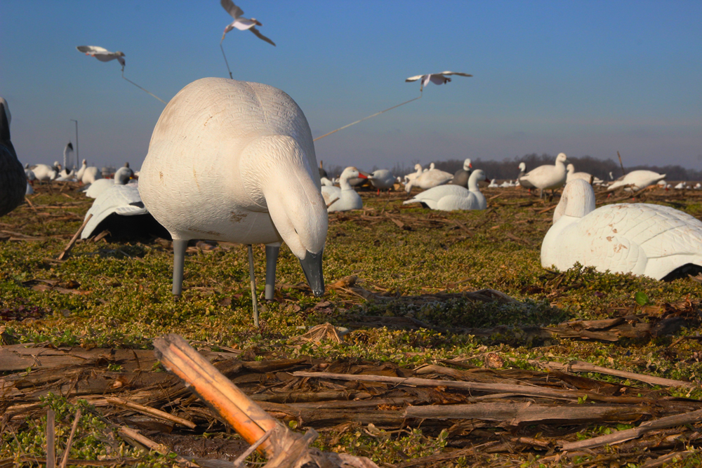 Video: Snow Goose Hunting – Decoys and Blind Concealment