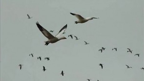 Snow Goose Hunting Video