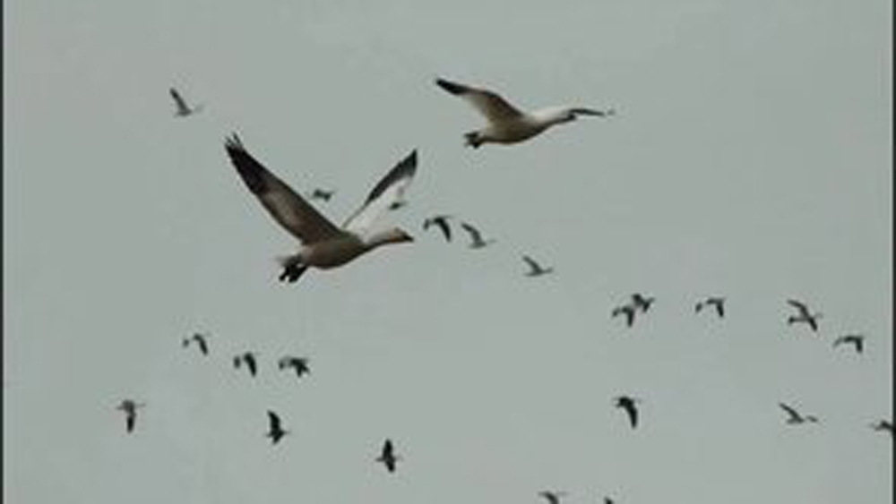 Video: Scouting For Snow Geese