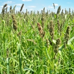 Golden Millet For Waterfowl