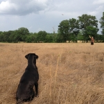 Retriever Training Drills