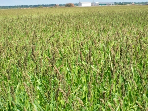 Waterfowl Hunting Food Sources - Golden Millet