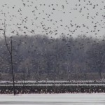 Waterfowl Migration Update December 19, 2013