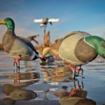 Waterfowl Migration Update January 8, 2014
