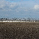 Snow Goose Hunting Concealment