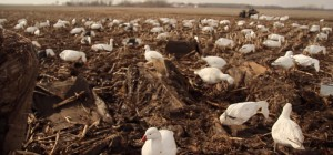 Layout Blinds For Snow Goose Hunting