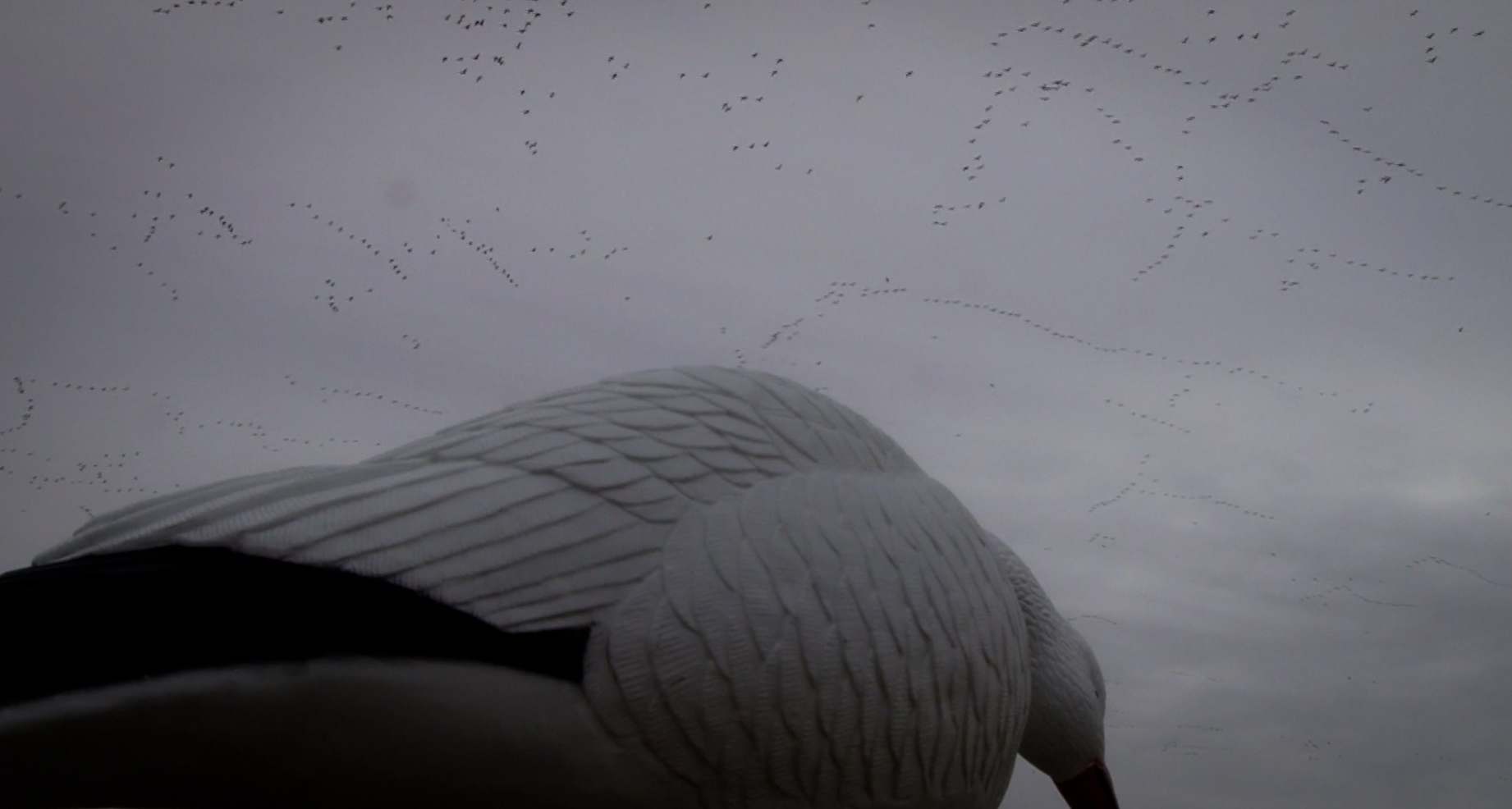 Snow Goose Migration February 14, 2014