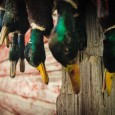 Duck Hunting Video - Fowled Reality