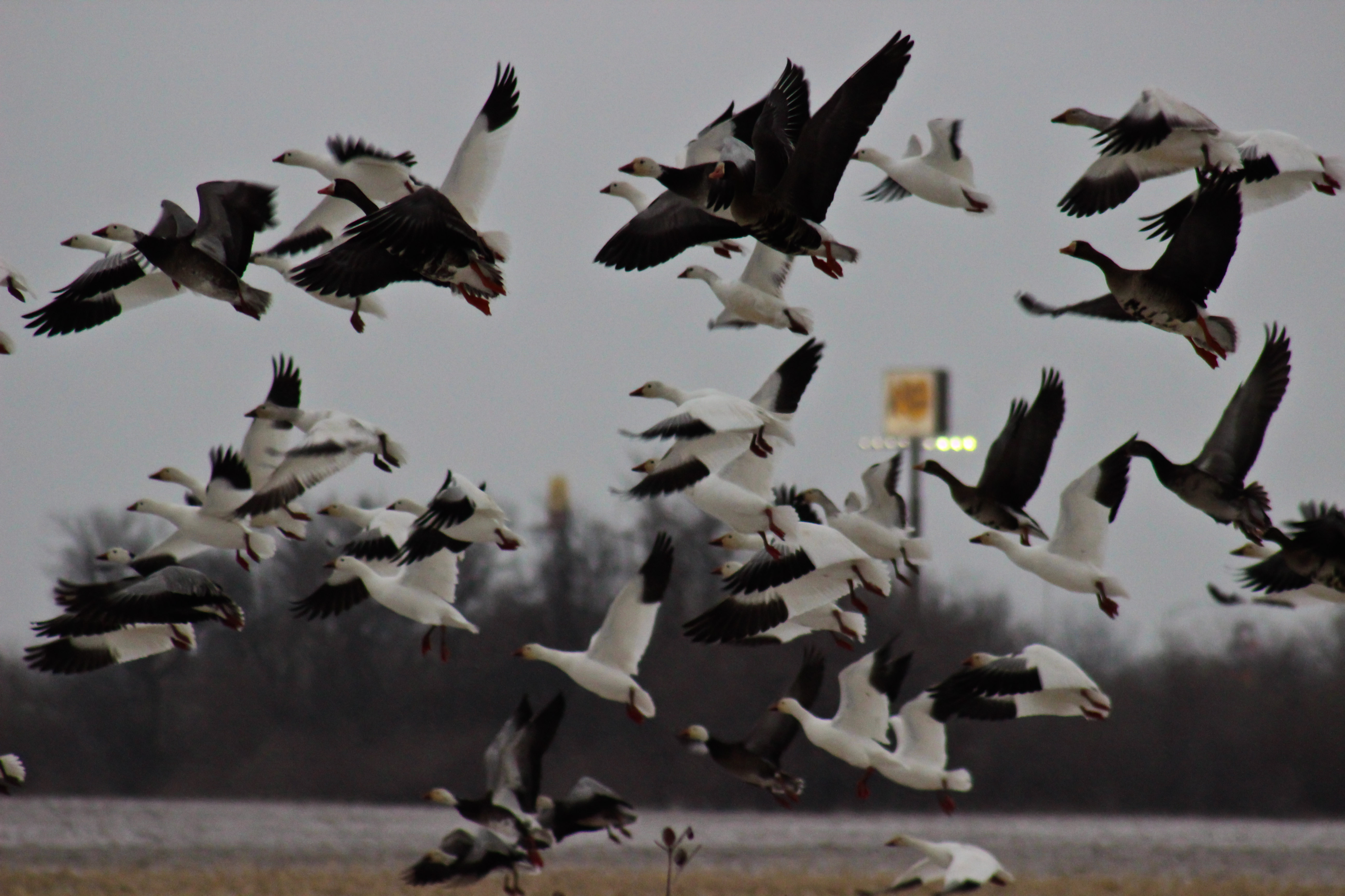 Snow Goose Migration Update – March 3, 2015