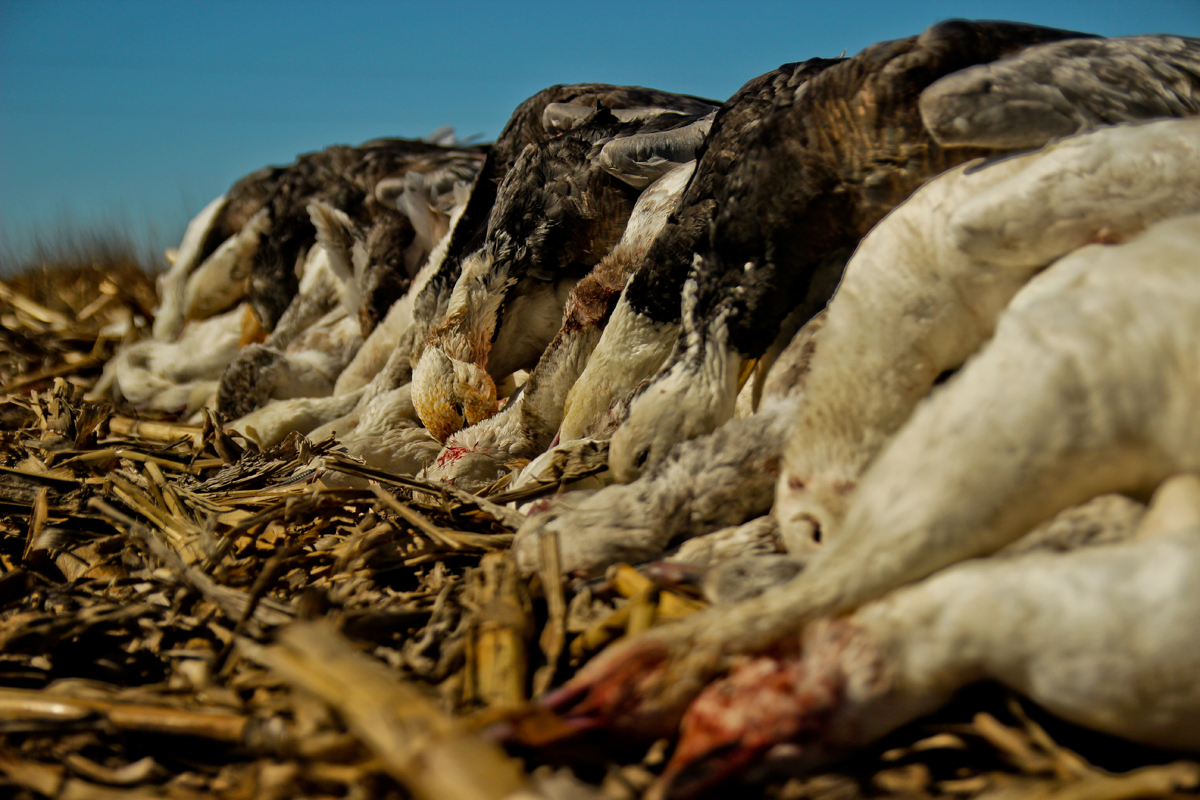 Video: Snow Goose Hunting – The Ultimate Frustration