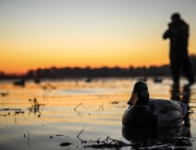 Waterfowl Migration Update