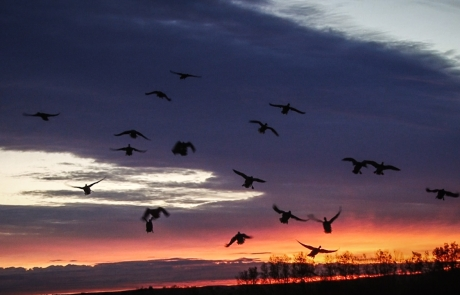 Video: Alberta Pea Field Duck Hunting