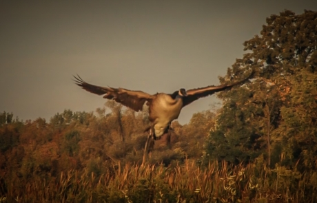 Video: Early Season Canada Goose Hunting In New York