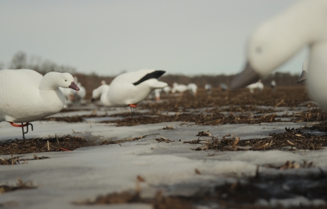 Snow Goose Migration Update – March 10, 2015