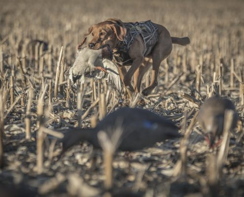Preparing Your Gun Dog for Hunting Season