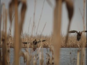 public land duck decoy strategies