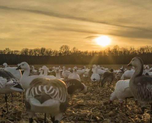 Snow Goose Migration Update
