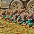 Duck Hunting Video